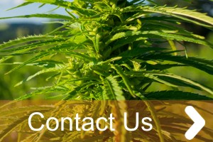contact cannabis industry work